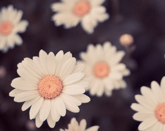 daisy nature photograph / daisies, flower, white, mustard yellow, crowd / pick me / 8x8 fine art photograph