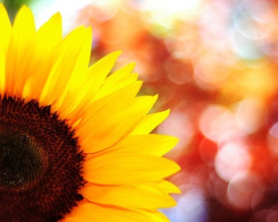 sunflower photography, summer, nature photography, botanical photograph, yellow, flower, rainbow, bokeh, red / sunny / 8x10 fine art photo