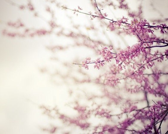 spring bloom nature photography, botanical photography, redbud, bloom, blossom, tree, spring, pink, purple, lavender, lilac / in the pink /