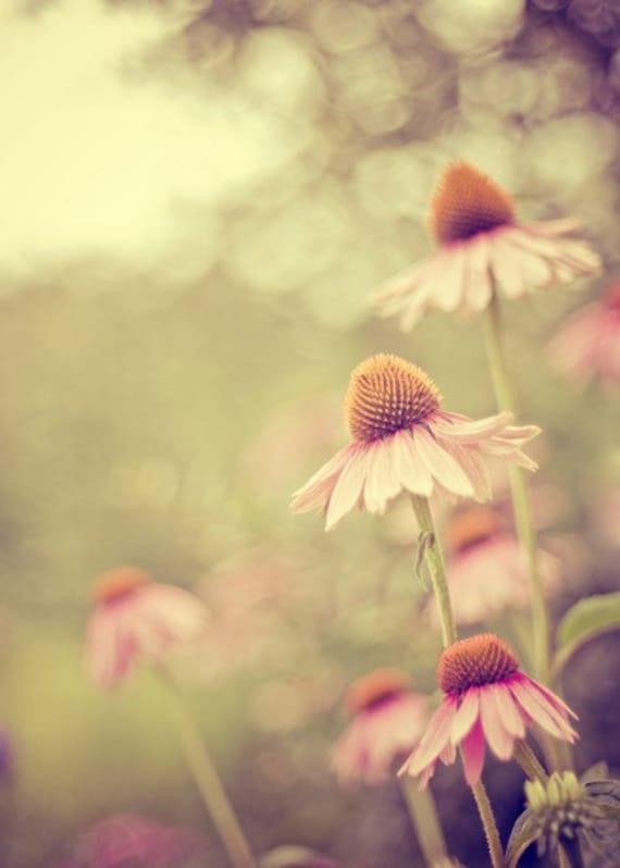 coneflower nature photography / summer, bloom, green, pink, purple, bokeh, light / coneflowers / 5x7 fine art photograph
