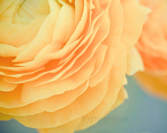 botanical photography, yellow, ranunculus, soft yellow, butter yellow, flower, robins egg blue, nature / buttery no. 2 / 8x10 fine art photo