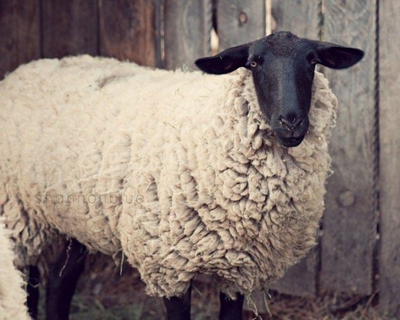 sheep farm photography / rustic, neutral tones, farm animal, lamb, beige / have you any wool / 8x10 fine art photo