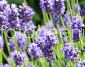 Lavender Photo Note Card