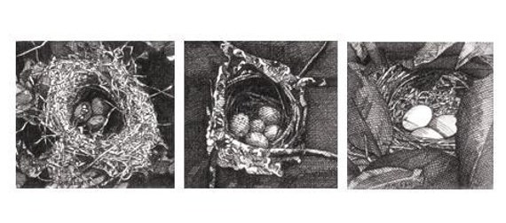 Pen-and-Ink Drawing Reproduction Bird Nest Note Cards