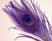 LOT OF 5 - Dyed Purple Peacock Feathers