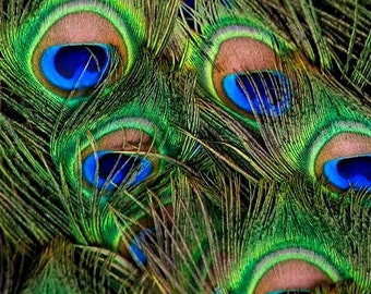 Batch of 5 Peacock Feathers - SIZE SMALL