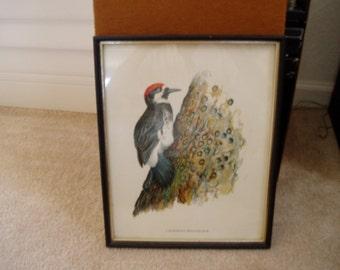 1 Robert Hines, Wildlife, Woodpecker, Print....framed
