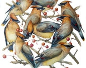 "Cedar Waxwings: Bird Print 8"" x 10"""