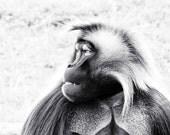 Baboon Photo - 8x10 Black and White Animal Photography Print - Gelada Monkey Monotone Art