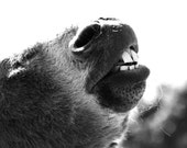Funny Donkey Photo - Lift your head and smile - 8x10 Black and White Farm Animal Photography Print - Humor Fine Art Home Decor