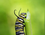Caterpillar Art Photo - Monarch Caterpillar Munching on Milkweed - 8x10 Color Nature Insect Bug Green Photography Print - Child's Room Deco