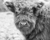 Baby Hairy Cow - Scottish Highland Cattle - 8x10 Black and White Farm Animal Photography Print - Cute Fuzzy Soft Gray Grey
