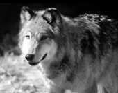 """Gray Wolf Photo - """"On the Prowl"""" - 8x10 Black and White Animal Photo Print"""