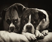 "Two Boxer Dogs Cuddling Photo - ""Snuggle Bugs"" - 8x10 Sepia Photography Print"