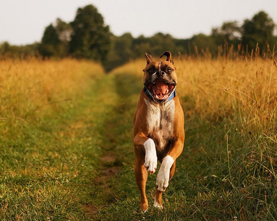 "Boxer Dog Running Happily Through Field - ""Roar, I'm a Bear"" - 8x10 Color Photo Print - Under 20 Pet Lover"