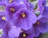 Cuticle Cream in Large Slider Tin - Violet