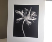 70 Percent OFF Art Show Clearance Sale - 16x20 and 18x18 matted - Radiant Tulip Print