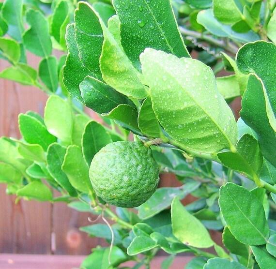 Fresh Kaffir Lime Leaves - Organic