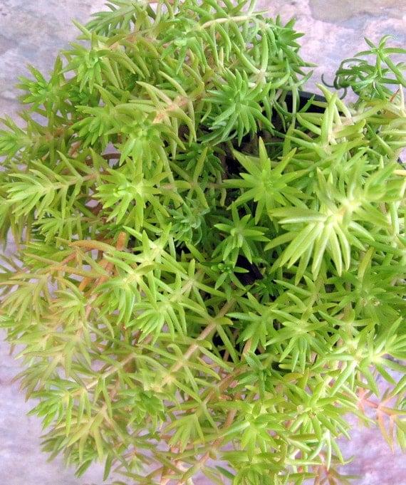 Sedum 'Lemon Coral' Succulent Plant