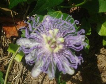Passion Flower Seeds