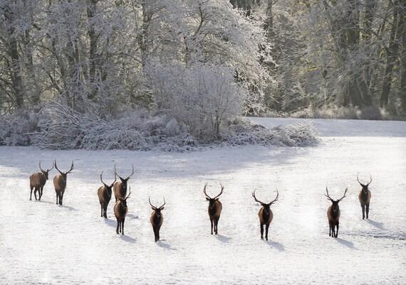 Roosevelt Elk, Oregon Coast Range,  Fine Art Digital Photographic Print 13x19