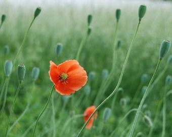 Photography - Poppies - Matted Print of Original Photograph - 5x7in. (CLEARANCE)