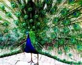 peacock, postcard pack of 6