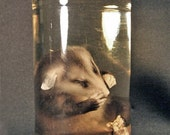 PRESERVED BABY OPOSSUM real animal specimen in jar for cabinet of curiosities or natural history biology display