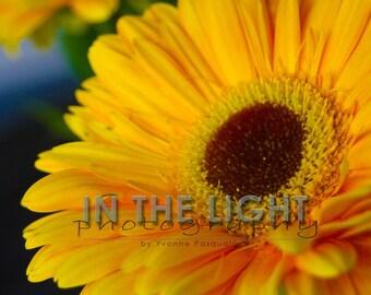 CLEARANCE Yellow Gerbera Daisy - 5x7 Fine Art Photo with foamboard