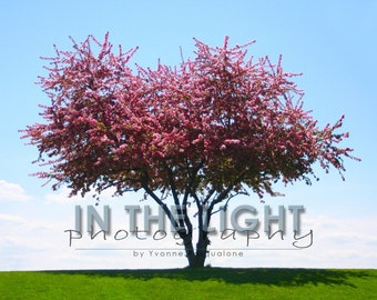 CLEARANCE Tree in Bloom - 8x10 fine art photo matted to 11x14