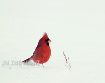 Cardinal in Snow #3 - fine art photography