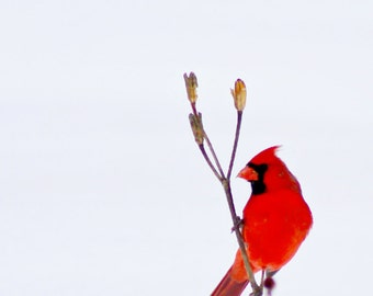 Cardinal in Snow #2 - fine art photography
