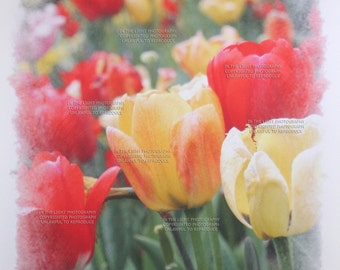 CLEARANCE Red and Yellow Spring Tulips - Fine Art Photograph Print on Watercolor Giclee Paper - 10x15 Photo