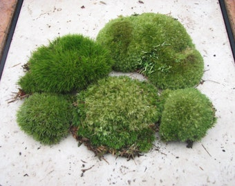 Natural Moss For Flowers Arrangements or Other Projects