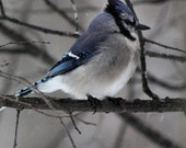 Bird Photography - Blue Jay Series Number 2 - 8x10 Photographic Print