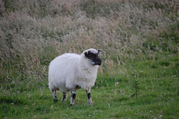 Sheep Grazing - Photo Note Card