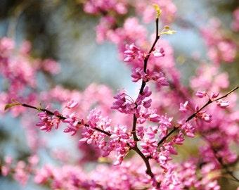 Reaching Skyward - Red Bud Tree - Pink Blossoms - Fine Art Photograph by Kelly Warren