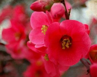 Blush - Red Bloom - Nature - Flower - Fine Art Photograph by Kelly Warren