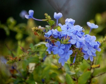 Take My Breath - Plumbago Flower Photo - Nature Photo - Fine Art Photograph by Kelly Warren