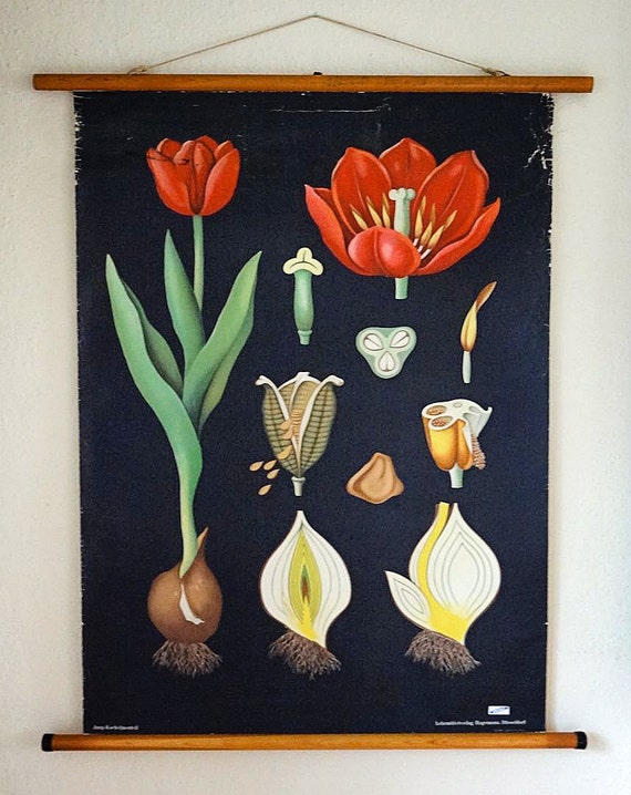 vintage botanical wall hanging, educational poster with red tulip, from Germany