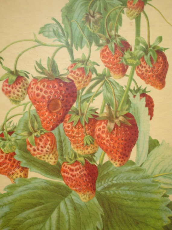 Vintage Strawberry Botanical Print with Wood Frame