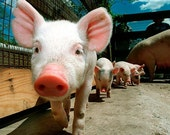 Piglets - Baby Little Pigs Wall Art