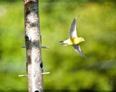 Animal Photography nature bird flying children colorful vivid green yellow summer spring fun goldfinch - In Flight - 5x7 Fine Art Print