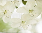 Macro Photography nature White Blooms spring shabby chic romantic for her women cream green pale light soft blossoms photo - Fine Art Print