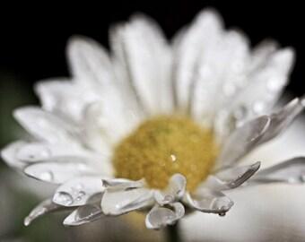 White water drops rain mustard yellow romantic love elegant black dark soft flower daisy spring photograph - Fine Art Photography Print