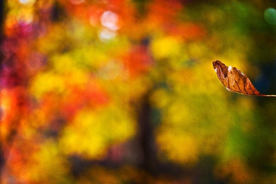 Nature Photography Fall Autumn harvest home decor men gold golden leaves leaf mustard vivid yellow green red tree Fine Art Photography Print