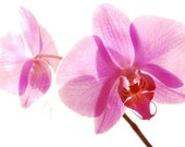Phalaenopsis Moth Orchid Flower Photograph - 10x8 - pink, nature, Spring, Summer, home, wall art, decor, floral, pretty