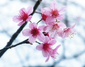 FREE SHIPPING - Thai Cherry Blossoms - A (8 x 10 Photo Print)