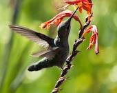 Custom Order for shorebird55 - 5x7 Hummingbird Photo