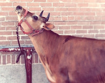 """Cow, whimsical, country, home, brown, red, kitchen, decor, summer, Jersey cow, farm life, pasture, milk, fine art photograph 8""""x8"""""""